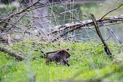 IMG_3244 (dernich) Tags: nature water canon river eau belgium wildlife ardennes rivire beaver 70300mm tamron castor wallonie 600d