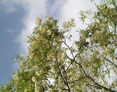 SDIM3381 sd1- (ciro.pane) Tags: flowers italy sigma blumen termini punta fiori acacia merrill sd1 campanella chinonmc55mmf14m42