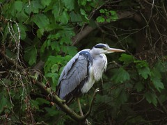 This Week I Have Been Mostly.....#1 (Bricheno) Tags: bird heron river scotland glasgow escocia kelvin szkocja schottland greyheron scozia riverkelvin wader cosse  esccia   bricheno scoia