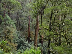 "Otways rainforest • <a style=""font-size:0.8em;"" href=""http://www.flickr.com/photos/44919156@N00/18032891431/"" target=""_blank"">View on Flickr</a>"