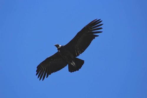 . La captura del día, Cóndor Hembra #condor #santuarioelcañi #surdechile #outdoor #bird