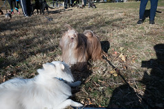 bagel bark, harlem meer, central park (Charley Lhasa) Tags: fujifilmx70 fujifilm x70 185mm iso200 secatf28 0ev aperturepriority pattern noflash dsf3079 raw uncropped taken161112090940 uploaded161114000250 4stars flagged adobelightroomcc20157 lightroomcc20157 adobelightroom lightroom charley charleylhasa lhasaapso dog yuki japanesespitz dogs dogsmet offleash offleashhours bagelbark centralparkpaws harlemmeer centralpark nycparks manhattan newyorkcity nyc newyork ny fall autumn bill shadow tumblr161113 httpstmblrcozpjiby2ef7quz