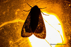 Drawn to the Light. (johninpix) Tags: moth light night detail outline lamp garden sardinia italy europe island mediterranean insect nature ecology behaviour silhouette pattern