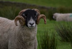 DSC_0008 - Horns of the Dales (SWJuk) Tags: swjuk uk unitedkingdom gb britain england yorkshire yorkshiredales wensleydale gayle hawes farm farmland gaudylane gaudyhousefarm grassland grass livestock sheep ewe 2016 sep2016 autumn nikon d7100 nikond7100 18300mm rawnef lightroom outdoor