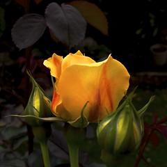 Yellow Rose (Padmacara) Tags: flower rose yellow g11 square leaves dark buds macro explored