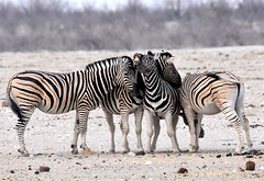 Fun in the dust. (pstone646) Tags: zebra animals nature wildlife desert namibia africa fauna safari