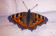 Small Tortoiseshell (Mike Serigrapher) Tags: small tortoiseshell butterfly lepidoptera insect iphone
