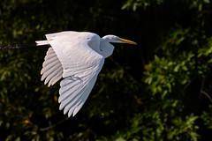 WhiteWings (jmishefske) Tags: dam nikon flight burlington echolake d500 wisconsin september egret great bif 2016