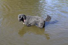 2708 (Jean Arf) Tags: ellison park dogpark rochester ny newyork september autumn fall 2016 poodle dog standardpoodle astrid water wet pond