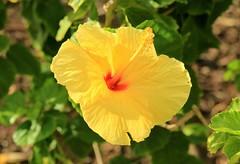 yellow hibiscus flower (joybidge (0n vacation)) Tags: trishcanada naturepatternscanada mauihawaii hibiscus yellowflowers