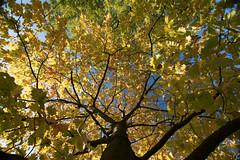 Baumkrone (janakintrup) Tags: wald herbst laub herbstlaub baum bume blatt bltter oktober golden goldeneroktober nachmittag guteswetter heiter sonne sonnenschein gelb stamm