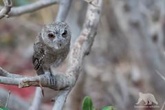 Indian Scops Owl (fascinationwildlife) Tags: animal bird prey pred wild wildlife inidan scops owl eule halsbandeule india asia nature natur national park ranthambhore summer juvenile