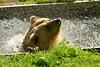 (sau)Bär (Don Bello Photography) Tags: sommer 2016 bärenpark müritznationalpark braunbär wasser panasonicphotographer panasonicfz1000 lumixphotographer lumixfz1000 fz1000 mecklenburgvorpommern norddeutschland northerngermany reinhardbellmann donbello donbellophotography 2000views 1000views 50favorites acdseeultimate9 acdsee