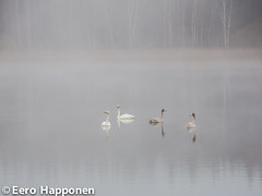 Swans in autumn morning (Eero Happonen) Tags: joutsjärvi nikoncoolpixp7700 sysmä fog finland swan morningfog autumn