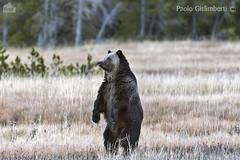 Grizzly, Ursus arctos (paolo.gislimberti) Tags: parchinazionali nationalparks grandteton mammals mammiferi carnivori flesheatinganimals animaliambientati animalsintheirenvironments