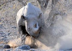 Ready to charge! (pstone646) Tags: rhino animal africa wildlife fauna mammal namibia safari angry dust bigfive
