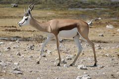 Springbock (Stefan Giese) Tags: namibia afrika africa panasonic fz1000 springbock springbok tier tiere animal etoscha etosha etoschapfanne etoshapan wildlife antilope