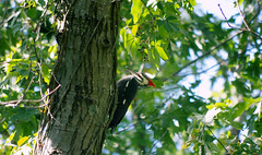Woody Woodpecker in real life (vbd) Tags: pentax k3 vbd smcpentaxda55300mmf458ed ct connecticut woodpecker newengland bird handheld 2016 summer2016 trumbull woodywoodpecker