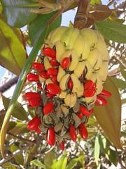 magnolia (cerezas123) Tags: magnolia seeds semillas naturaleza