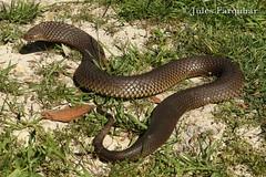 Lowlands Copperhead (Austrelaps superbus) (Jules Farquhar.) Tags: lowlandscopperhead austrelapssuperbus copperhead snake elapidae venomous reptile squamata herpetofauna victorianwildlife julesfarquhar
