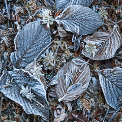 Frosty leaves (whitworth images) Tags: winter autumn pattern frost travel crystals alpine nature altitude fallen himalayas ice brown bhutan hoarfrost cold pelela leaves frosty elevation himalaya sad pass forest pele high frozen trongsa dead asia deciduous detail wangduephodrangdzongkhag