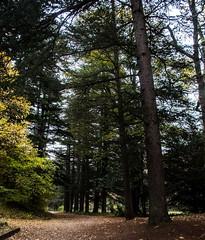 Les couleurs de la Drme (zabou256 aussi sur Ipernity) Tags: automne fort arbres autumn tree trees arbre cdre cdres