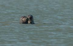 Duo de gris (Eric Penet) Tags: phoque gris animal automne octobre france seal wildlife wild mammifre marin mammal cte opale pasdecalais calais nature sea mer manche
