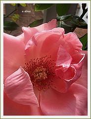 Rosa (o.dirce) Tags: rosa ptalas macro flower flor planta vegetao nature natureza odirce riodejaneiro