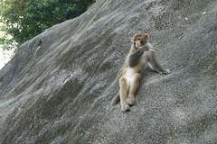DSC01657_2 (Chris wwh) Tags: 石梨貝水塘 reservoir hk 香港 hongkong monkey 馬騮 猿 サル 猴子