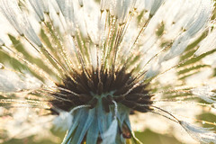 321/366 (local paparazzi (isthmusportrait.com)) Tags: 366project canon5dmarkii 100mmf28lmacro prime aperture lopaps pod 2016 iso400 redskyrocketman localpaparazzi isthmusportrait dof bokeh dandelion flower floral flora macro micro closeup texture seeds 100mm f28l canon ef eos dew morningdew fresh wet early sharpness detail clarity raw cr2 canonraw photoshopelements7 nature sparkle shiny