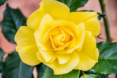 Beautiful roses in bloom (Merrillie) Tags: rose athome woywoy flowers nature australia nswcentralcoast newsouthwales garden nsw flora outdoors roses centralcoastnsw yellow petals flower