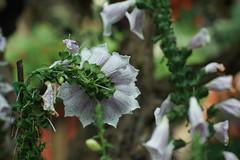 DSC03695 (oliveplum) Tags: tribaltempofloraldisplay foxglove gardensbythebay sony singapore olympusomsystemzuikomcautot12f85mm bokeh flowerdome marinabay