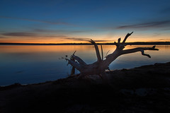 Dawn at the Lake's Edge (mclcbooks) Tags: sunrise dawn daybreak sky morning landscape seascape clouds reflections silhouette silhouettes lakechatfield chatfieldlakestatepark colorado autumn fall tree branch branches driftwood bluehour