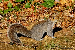Eastern Gray Squirrel (--Anne--) Tags: animal cute animals nature wildlife autumn fall gray squirrel