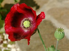 ... papavero # 4 (antosti) Tags: veneto belluno sanvito cadore papavero rosso stami capsula semi fusti nikon d70s poppy coquelicot papaver poppies fiore