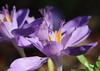 Crocus banaticus, ein Herbstkrokus (julia_HalleFotoFan) Tags: crocus krokus herbstkrokus botanischergartenhalle