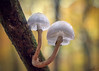 Schleimer (Thomas Heuck) Tags: pilz müritznationalpark wald herbst oktober ast buchenschleimrüblinge