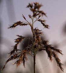 Spinnenweben im Morgentau (fotaennie) Tags: rieselfelder gras spinnennetz nebel morgentau