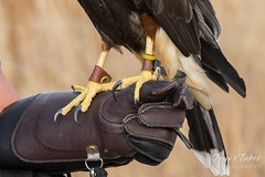 Harris's Hawk on a falconers glove