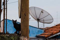 (Jos Mauricio Garijo) Tags: cat gatos cidade street brasil animais pet felinos agudossp fotografiajmauriciogarijo