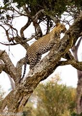 Kenya Leopard 2016 (Onmars1) Tags: davidor kenyasafari