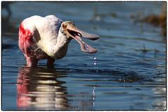 Rosette Spoonbill gets the fish (EXPLORE, May 22 #47) (RKop) Tags: a77mk2 600mmf4apogminolta caladesiislandstatepark raphaelkopanphotography sony