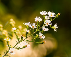 Little Whites In the Light Of the Setting Sun (that_damn_duck) Tags: flower petals blossom blooming nature