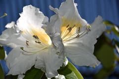 must be in love (sabinakurt62) Tags: plant flora nature garden flowers white spring beautiful art photography nikon sydney australia amaryllis