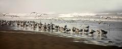 On the Beach (cindyz48) Tags: ocean seascape seagulls birds waves flight beach