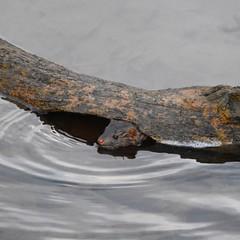 Mink (Peter Granka) Tags: mink royalbotanicalgardens rbg hendrievalley hendrietrail petergranka