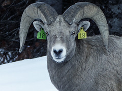 Bighorn Sheep, number 18 (annkelliott) Tags: alberta canada rockymountains canadianrockies kananaskis highway40 nature animal wild wildanimal wildlife bighornsheep oviscanadensis bovidae caprinae ovis male tag eartags number18 frontsideview eyecontact horns snow likewinter ontheroad outdoor fall autumn 29november2016 fz200 fz2004 annkelliott anneelliott anneelliott2016 allrightsreserved