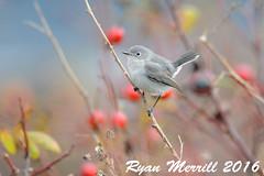 Blue-gray Gnatcatcher (rjm284) Tags: birds birding wa washington rjm284 bggn caerulea eastern neahbay bluegraygnatcatcher