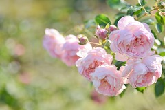 """rose, """"Lovely Meilland""""   """" (snowshoe hare*(catching up)) Tags: dsc0675 rose flowers lovelymeilland botanicalgarden frenchrose"""