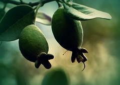 Feijoa sellowiana (chang_j1) Tags: extérieur jardin couleur arbuste fruits feuillage feijoa